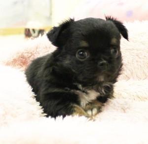 チワワ(ロング)の子犬(ID:1240211162)の2枚目の写真/更新日:2017-05-31