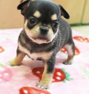 チワワ(スムース)の子犬(ID:1240211163)の1枚目の写真/更新日:2017-05-16
