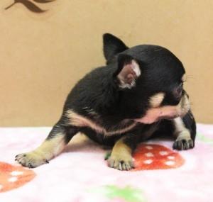 チワワ(スムース)の子犬(ID:1240211164)の2枚目の写真/更新日:2017-05-16
