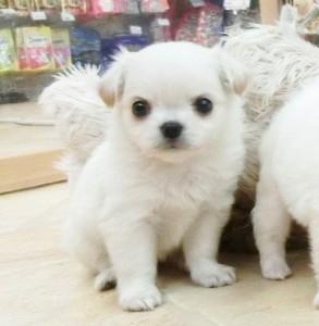 チワワ(ロング)の子犬(ID:1240211165)の1枚目の写真/更新日:2017-05-24