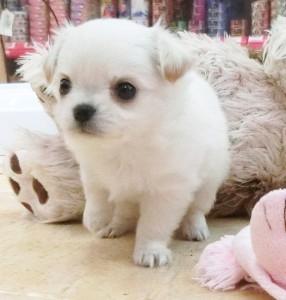 チワワ(ロング)の子犬(ID:1240211165)の2枚目の写真/更新日:2017-05-24