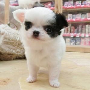 チワワ(ロング)の子犬(ID:1240211166)の1枚目の写真/更新日:2017-05-24