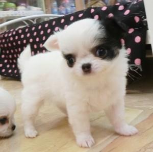 チワワ(ロング)の子犬(ID:1240211166)の2枚目の写真/更新日:2017-05-24
