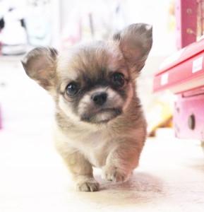 チワワ(ロング)の子犬(ID:1240211170)の1枚目の写真/更新日:2017-06-13