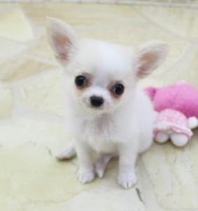 チワワ(ロング)の子犬(ID:1240211171)の1枚目の写真/更新日:2017-07-11