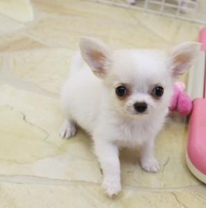 チワワ(ロング)の子犬(ID:1240211171)の2枚目の写真/更新日:2017-07-11