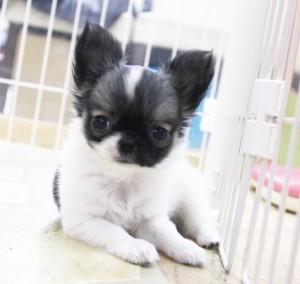 チワワ(ロング)の子犬(ID:1240211172)の1枚目の写真/更新日:2017-07-11