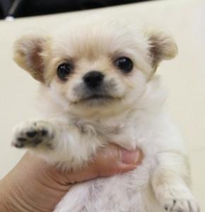 チワワ(ロング)の子犬(ID:1240211173)の1枚目の写真/更新日:2017-07-04