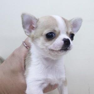 チワワ(スムース)の子犬(ID:1240211174)の1枚目の写真/更新日:2017-07-04