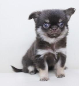 チワワ(ロング)の子犬(ID:1240211175)の1枚目の写真/更新日:2017-07-04