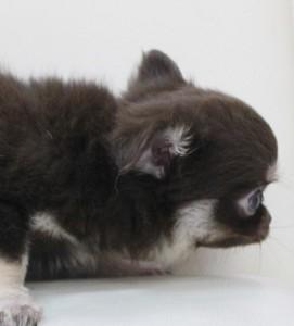 チワワ(ロング)の子犬(ID:1240211175)の2枚目の写真/更新日:2017-07-04