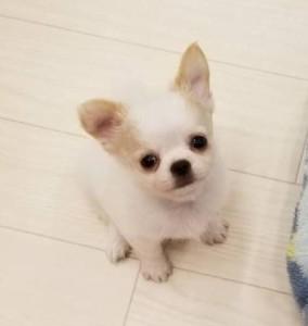 チワワ(ロング)の子犬(ID:1240211176)の2枚目の写真/更新日:2018-10-05