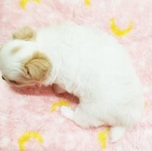 チワワ(ロング)の子犬(ID:1240211176)の3枚目の写真/更新日:2017-07-17