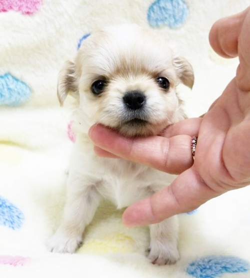 チワワ(ロング)の子犬(ID:1240211177)の1枚目の写真/更新日:2018-07-16