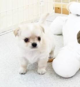 チワワ(ロング)の子犬(ID:1240211177)の2枚目の写真/更新日:2017-08-19
