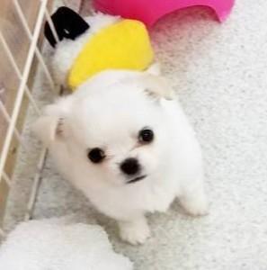 チワワ(ロング)の子犬(ID:1240211178)の1枚目の写真/更新日:2017-08-19