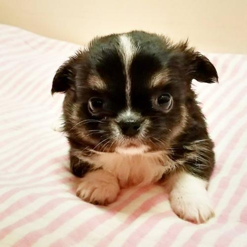 チワワ(ロング)の子犬(ID:1240211179)の1枚目の写真/更新日:2018-08-07