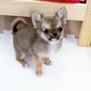 チワワ(ロング)の子犬(ID:1240211180)の1枚目の写真/更新日:2017-09-16