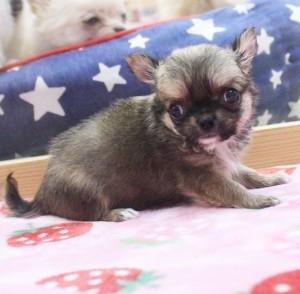 チワワ(ロング)の子犬(ID:1240211180)の2枚目の写真/更新日:2017-08-19