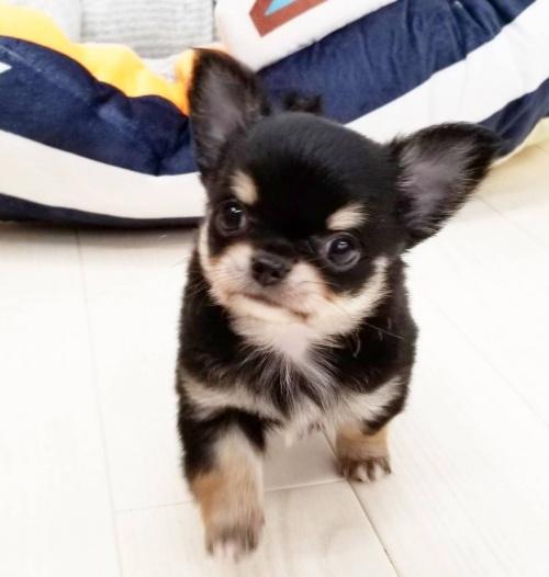 チワワ(ロング)の子犬(ID:1240211181)の1枚目の写真/更新日:2017-10-03