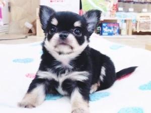 チワワ(ロング)の子犬(ID:1240211181)の2枚目の写真/更新日:2017-09-21