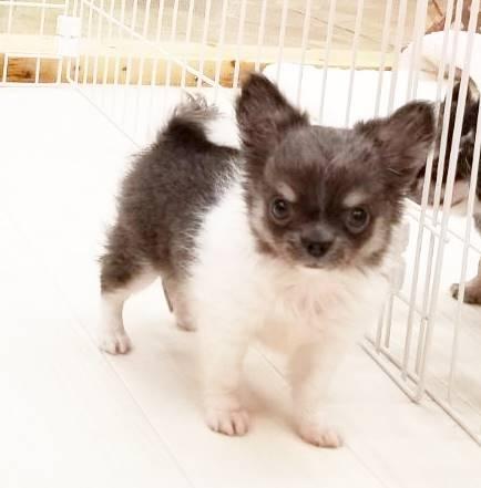 チワワ(ロング)の子犬(ID:1240211182)の1枚目の写真/更新日:2018-09-13