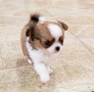 チワワ(ロング)の子犬(ID:1240211183)の2枚目の写真/更新日:2018-10-16
