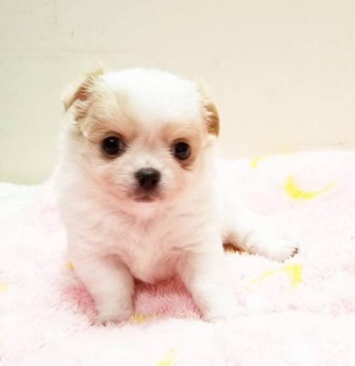 チワワ(ロング)の子犬(ID:1240211184)の1枚目の写真/更新日:2018-09-28