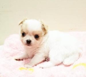 チワワ(ロング)の子犬(ID:1240211184)の2枚目の写真/更新日:2018-09-28