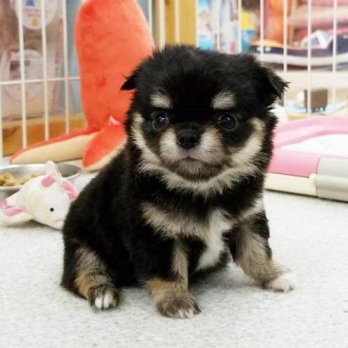 チワワ(ロング)の子犬(ID:1240211185)の1枚目の写真/更新日:2018-07-16