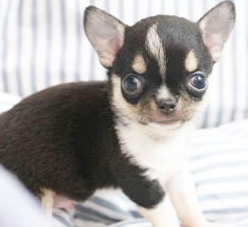 チワワ(ロング)の子犬(ID:1240211186)の1枚目の写真/更新日:2017-10-10