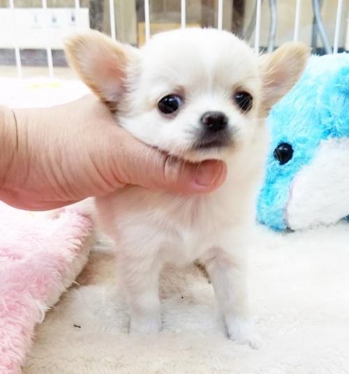 チワワ(ロング)の子犬(ID:1240211188)の1枚目の写真/更新日:2018-06-12