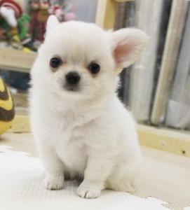 チワワ(ロング)の子犬(ID:1240211190)の1枚目の写真/更新日:2017-10-17