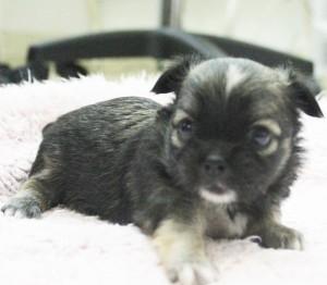 チワワ(ロング)の子犬(ID:1240211193)の1枚目の写真/更新日:2017-10-17
