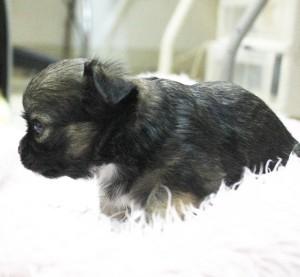 チワワ(ロング)の子犬(ID:1240211193)の2枚目の写真/更新日:2017-10-17