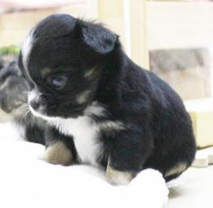 チワワ(ロング)の子犬(ID:1240211194)の2枚目の写真/更新日:2017-10-17