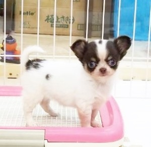 チワワ(ロング)の子犬(ID:1240211195)の1枚目の写真/更新日:2017-10-27
