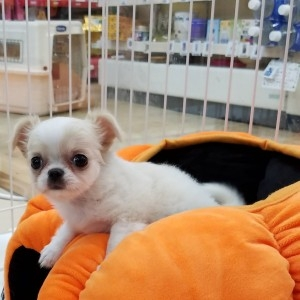 チワワ(ロング)の子犬(ID:1240211197)の1枚目の写真/更新日:2017-11-10