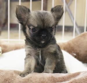チワワ(ロング)の子犬(ID:1240211199)の1枚目の写真/更新日:2017-11-17