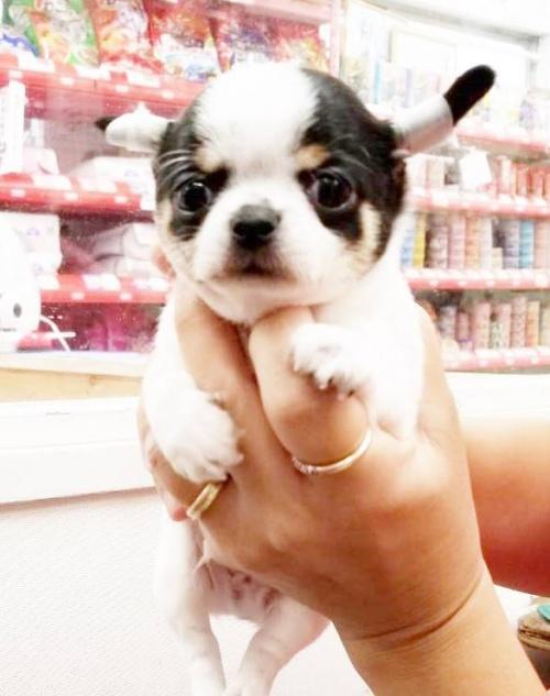 チワワ(スムース)の子犬(ID:1240211203)の1枚目の写真/更新日:2018-09-28