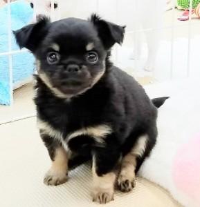 チワワ(ロング)の子犬(ID:1240211204)の3枚目の写真/更新日:2017-12-29