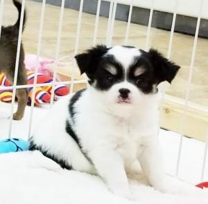 チワワ(ロング)の子犬(ID:1240211205)の1枚目の写真/更新日:2017-12-22
