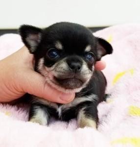 チワワ(スムース)の子犬(ID:1240211207)の1枚目の写真/更新日:2017-12-11