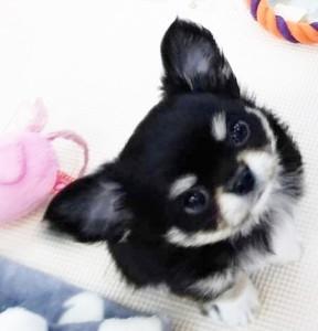 チワワ(ロング)の子犬(ID:1240211209)の1枚目の写真/更新日:2018-01-04