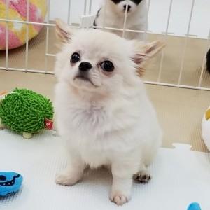 チワワ(ロング)の子犬(ID:1240211212)の1枚目の写真/更新日:2017-12-29