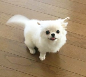 チワワ(ロング)の子犬(ID:1240211212)の2枚目の写真/更新日:2017-12-29