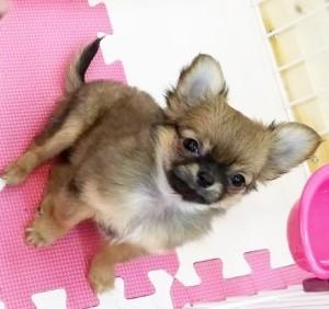 チワワ(ロング)の子犬(ID:1240211213)の4枚目の写真/更新日:2018-01-24