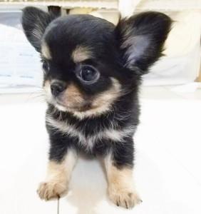 チワワ(ロング)の子犬(ID:1240211214)の1枚目の写真/更新日:2018-01-24