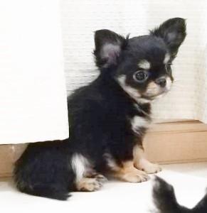 チワワ(ロング)の子犬(ID:1240211214)の2枚目の写真/更新日:2018-01-24