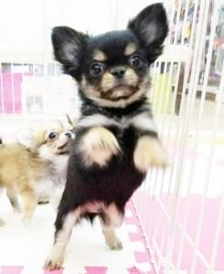 チワワ(ロング)の子犬(ID:1240211214)の3枚目の写真/更新日:2018-01-24
